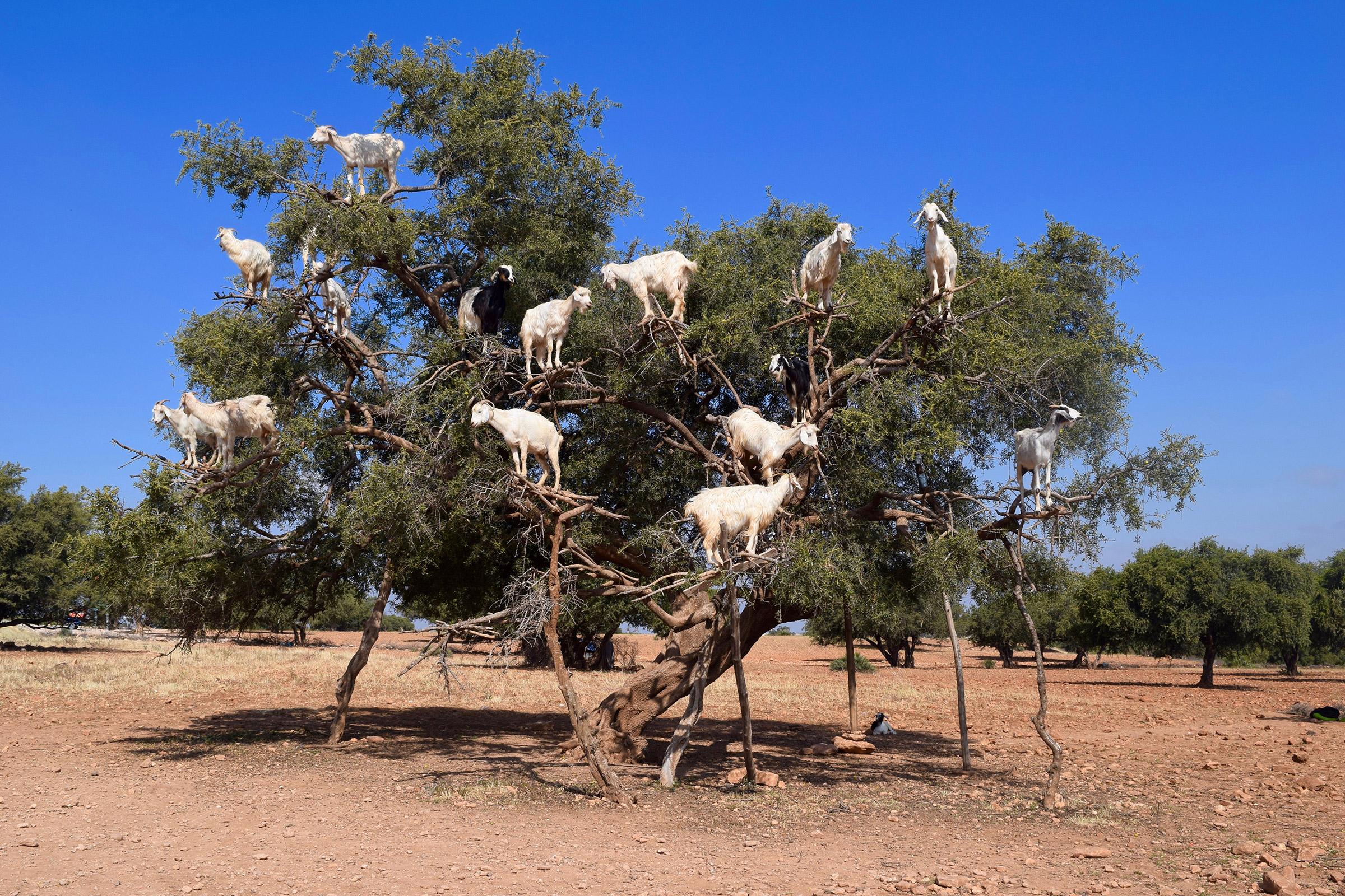 Morocco Goats In An Argan Tree