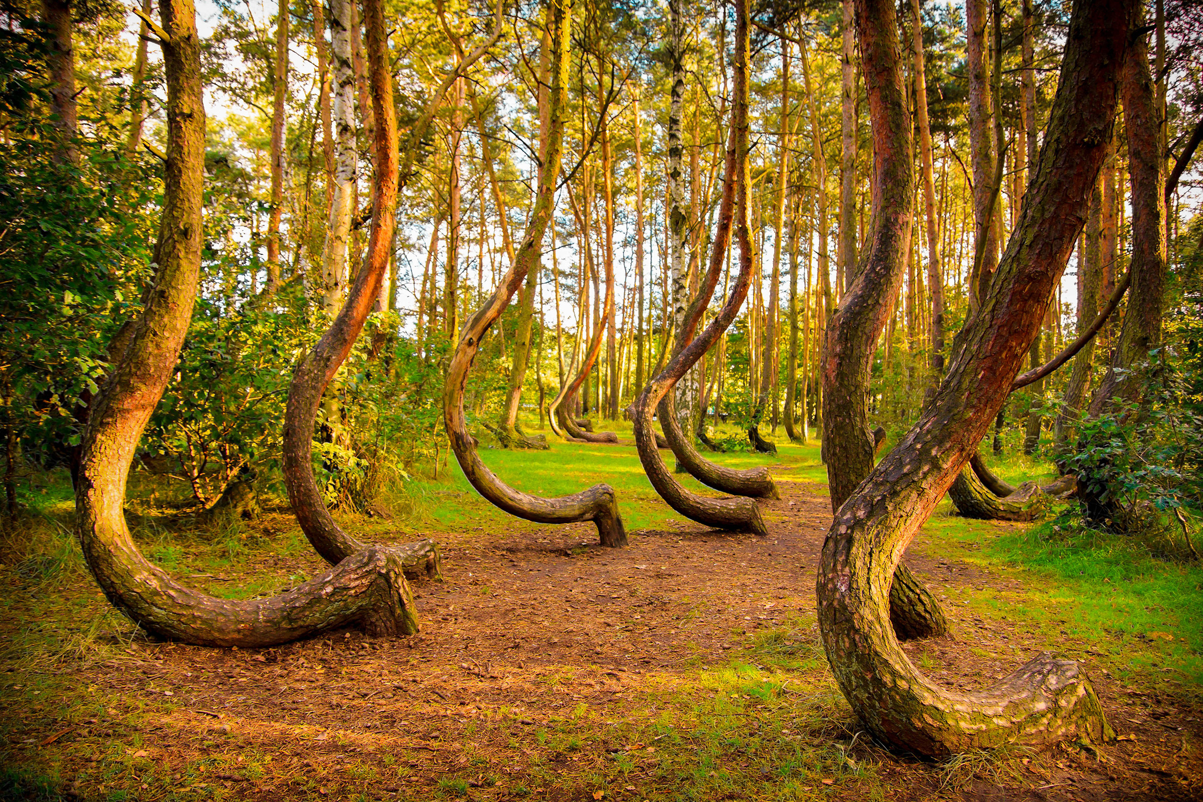 Poland Gryfino Crooked Forest