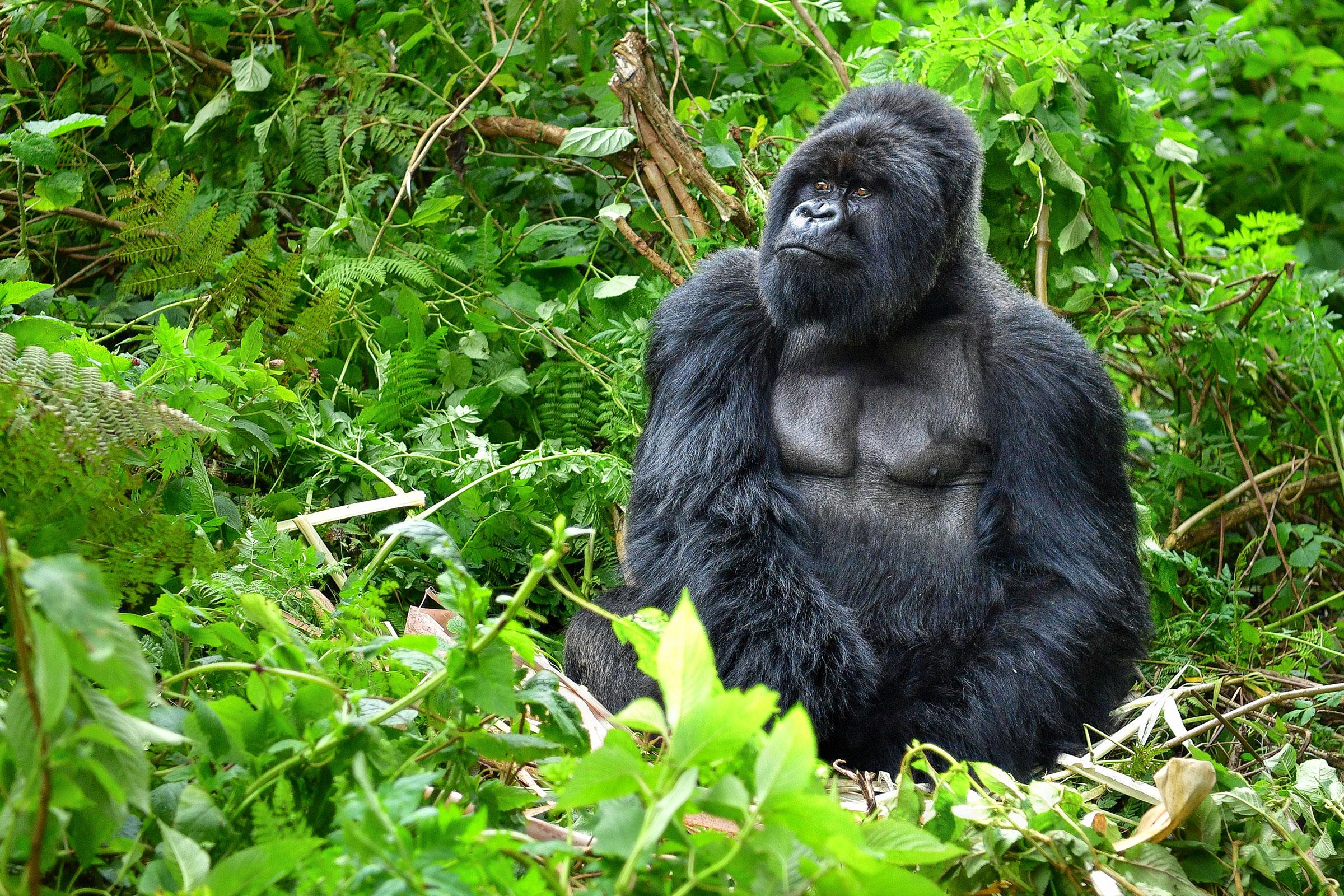 Silverback mountain gorilla, Rwanda rainforest