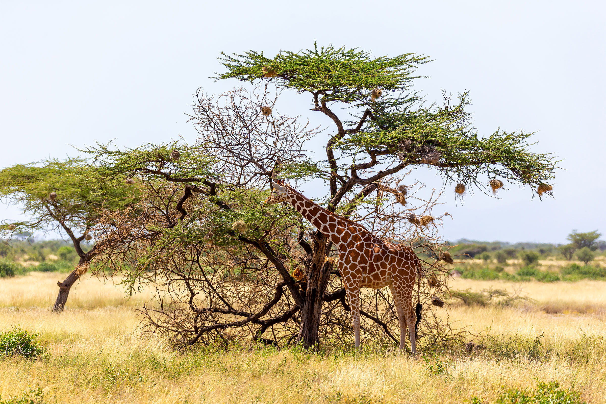 Somalia Giraffe Eating Acacia Tree