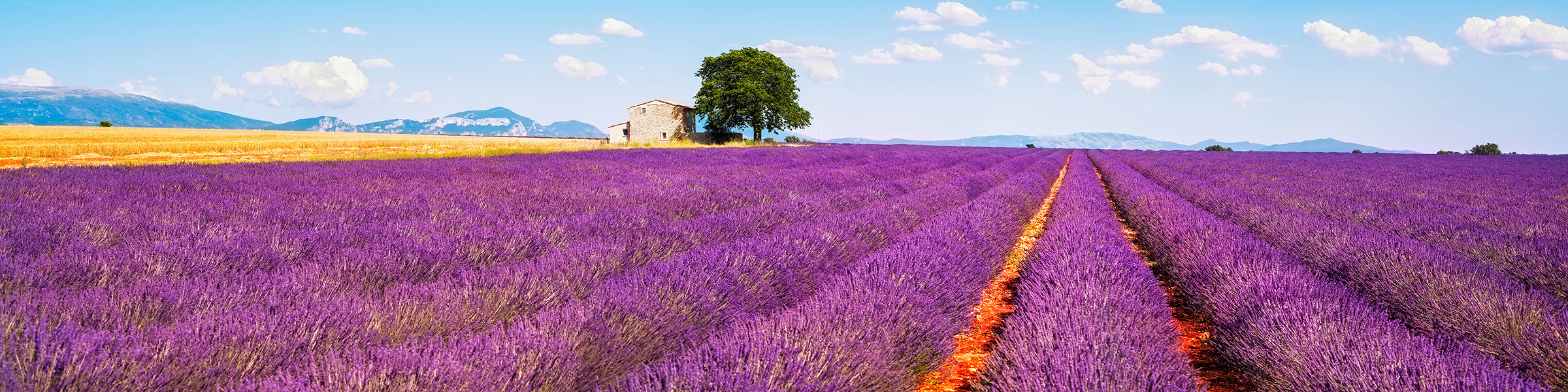 France Provence Lavender Field